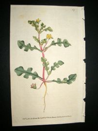 Curtis 1788 Hand Col Botanical Print. Jag-Leaved Fig marigold #67,
